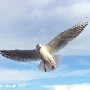Brenda Keogh | Seagull